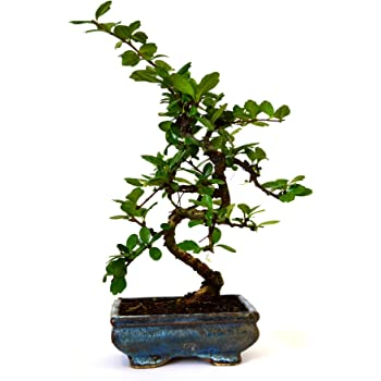 Amazon Com 9greenbox Fukien Tea Bonsai With 6 Ceramic Pot Grocery Gourmet Food