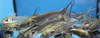 Blue 5 pack live 3-4 inch channel catfish