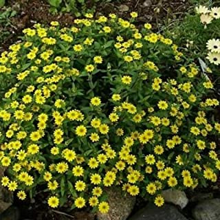 Best creeping zinnia plants Reviews