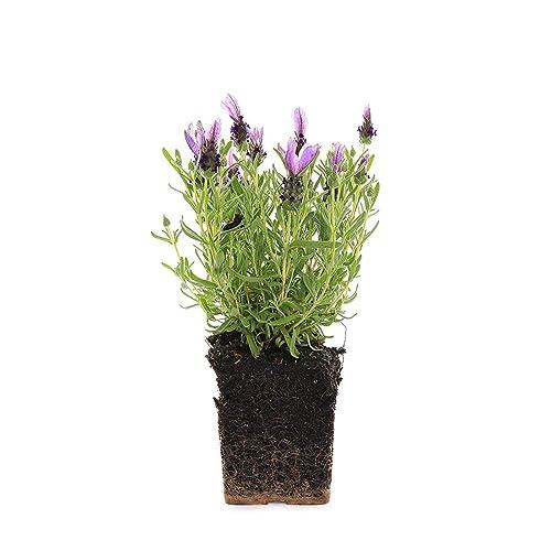 Lavender Plant Amazon Com