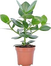 Clusia rosea Princess | Clusia | Luchtzuiverene kamerplant | Hoogte 50-70cm | Pot - Ø 17cm