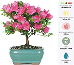 """Brussel's Live Satsuki Azalea Outdoor Bonsai Tree - 5 Years Old; 6"""" to 8"""" Tall with Decorative Container"""