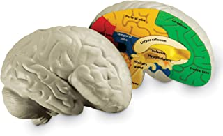 Learning Resources Cross-section Brain Model, 2 Piece, Color Coded , Ages 7+