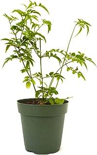 9GreenBox - Pink Jasmine Plant - Jasminum Polyanthum - Fragrant - 4