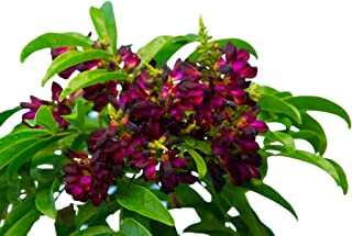 Best climbing hydrangea vines problems Reviews