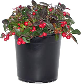 Gaultheria procumbens (Wintergreen) Evergreen, white flowers with red fruit, #1 - Size Container