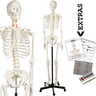 interactive skeleton model