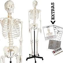 Best skeletal muscle anatomy model Reviews
