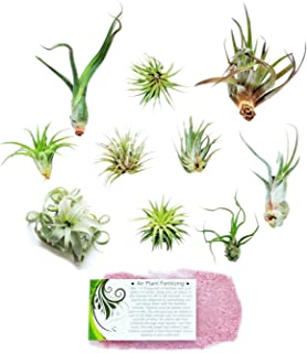 brachycaulos air plant care