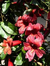 Bignonia capreolata Atrosanguinea |Red Cross Vine | 10_Seeds