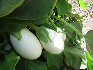 50 Eggplant White Star Hybrid Eggplant Seeds Egg Plant Seed Mb003