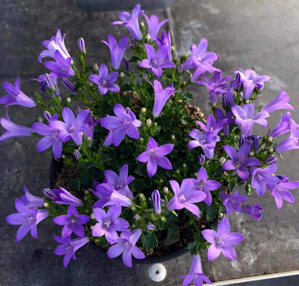 Campanula Pack 6 Plantas -Planta Ornamental- Planta Natural - Campanillas - Flores de Jardin 13cm ø - Vipar Garden 13: Amazon.es: Jardín