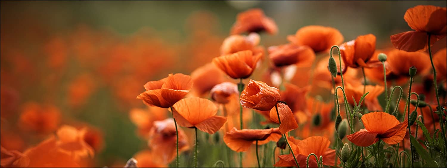 Pro-Art-Bilderpalette Orange Poppies I Glas-Art, bunt 50 50 50 x 125 x 1,4 cm B01LZK35SS 0cf2a4