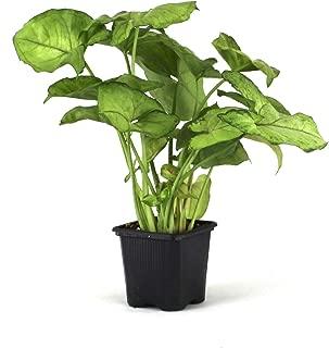 Syngonium Podophyllum 'Mango Allusion'
