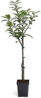 Nagami Kumquat Tree - 1-2 ft.