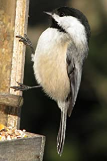 Massachusetts State Bird - Black-capped Chickadee Journal: 150 page lined notebook/diary
