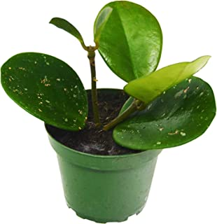 Best hoya plants for sale Reviews
