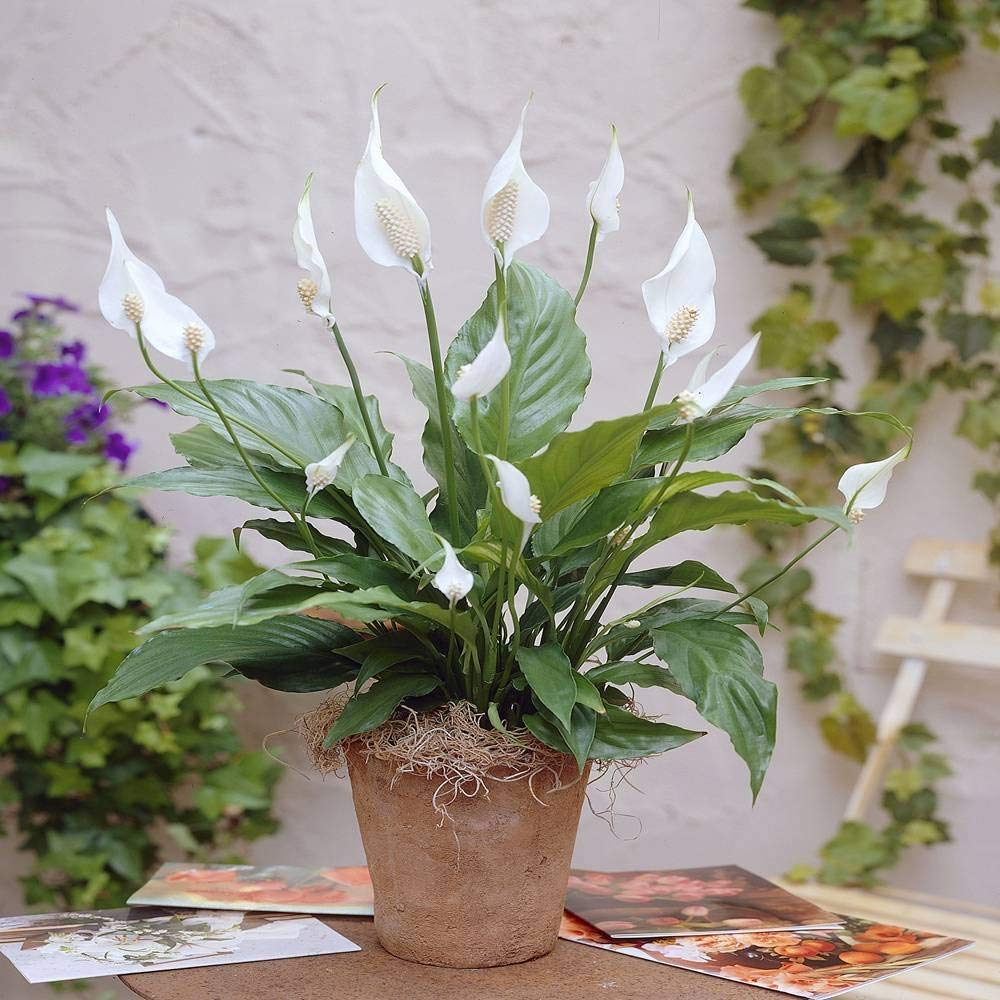 1 X SPATHIPHYLLUM 'PEACE LILLY' DARK GREEN HOUSEPLANT HEALTHY PLANT IN POT