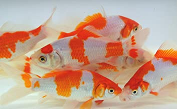 Live Sarasa Goldfish for Aquariums, Tanks, or Garden Ponds - Live Red and White Commons - Born and Raised in The USA - Live Arrival Guarantee