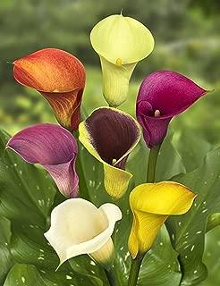 GOLDEN AUTUMN 5 Bulbs Mixed Calla Lily -Private Gardening