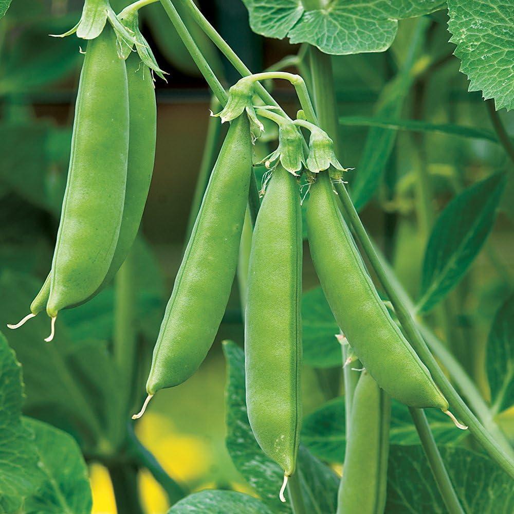 Burpee Sugar Snap Pea Seeds 300 seeds