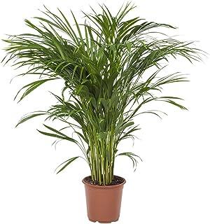 Planta de interior de Botanicly – Palma Areca – Altura: 85 cm – Areca dypsis lutescens