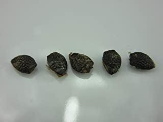 Giant Passion Fruit, Granadill (Passiflora quadrangularis) Seeds by Robsrareandgiantseeds UPC0764425787266 Non-GMO,Organic,Historic Plants,1123-A Package of 5 Seeds