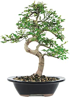 Brussel's Live Chinese Elm Outdoor Bonsai Tree - 7 Years Old; 8