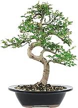 japanese elm bonsai tree
