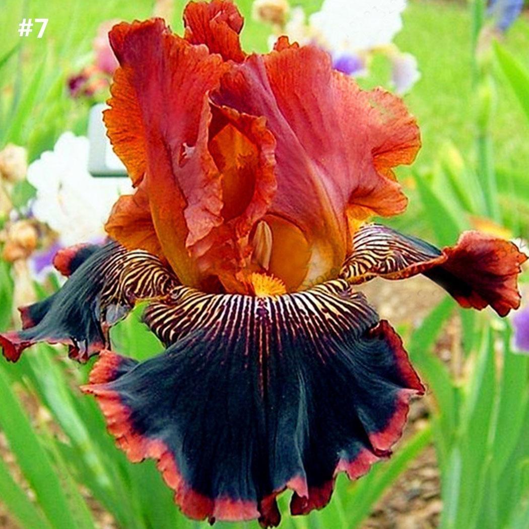 Ncient 50 Semillas Iris Colores Semillas Flores Raras Aromaticas Plantas Bonsai para Maceta Jardín Balcon Interior y Exteriores: Amazon.es: Jardín