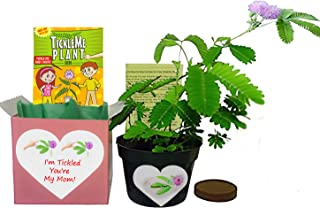 TickleMe Plant Mother's Day/Birthday Box Set - to Grow The Plant That Closes Its Leaves When You Tickle It or Blow It a Kiss. It Even Grows Pink Flowers. Grows Indoors Year Round.