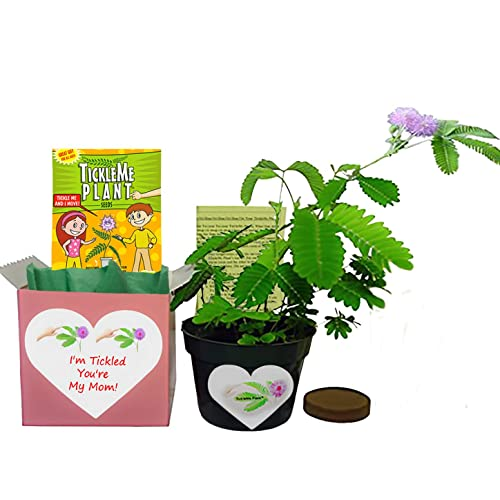 Get Well Plant Gift Ships 2nd Day Air Thank You Plant Gift Birthday Plant Gift Live Plant Housewarming Plant Gift Anniversary Plant Gift Green Gift Congratulations Plant Gift New Baby Plant Gift Pomegranate Bonsai