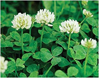 David's Garden Seeds Cover Crop Clover New Zealand ZX9124 (White) Open Pollinated One Pound Package