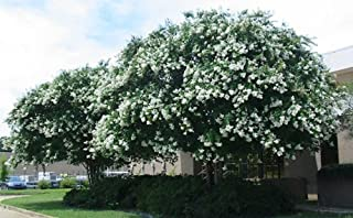 Large Natchez Crape Myrtle, 3-4ft Tall When Shipped, Matures 18ft, 1 Tree, Beautiful Crisp Snow White, (Shipped Well Rooted in Pots with Soil)