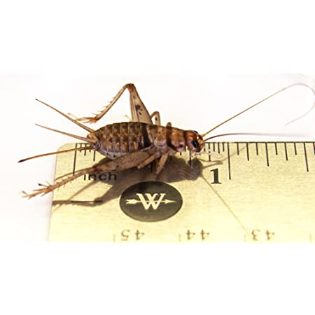 """Josh's Frogs 1"""" Large Adult Banded Crickets"""