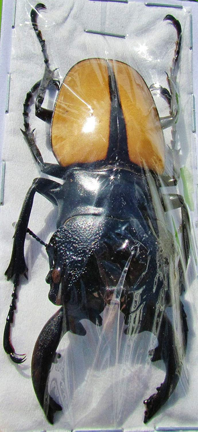 Indonesian Stag Beetle Odontolabis ludekingi Male 4 70 in 3 Manufacturer OFFicial shop Max 81% OFF mm 2