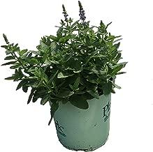 Premier Plant Solutions 19974 Meadow Sage (Salvia Nemerosa) 'Sensation Sky Blue' Perennial Flower 1 Gallon