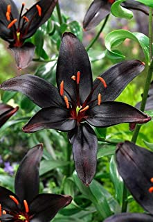 Black Pearl Asiatic Lily - 3 Bulbs 14/16cm - Darkest Lily in The World