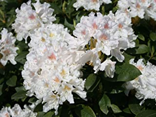 Rhododendron hybrida Cunningham White - Large FLR. Rhododendron- 3 Plants in 1Ltr Pots