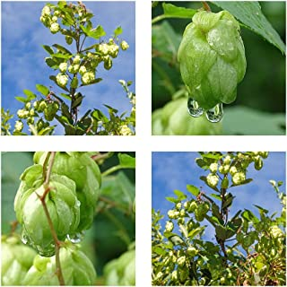 Humulus lupulus - Lúpulo de elaboración real - 50 semillas - Creeper…