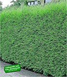 BALDUR Garten Leyland-Zypressen-Hecke winterhart, 10 Pflanzen immergrün Cupressocyparis leylandii