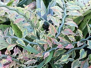 Devil's Backbone Plant - Pedilanthus - Red Bird Zig Zag Cactus - 4