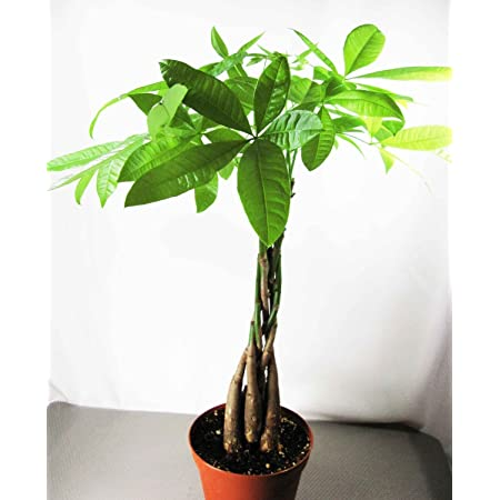 5Pcs//pack Braid Pachira Big Money Tree Seeds Bonsai Tree Seeds Indoor Ornamental Plants Home Garden Decoration Miniascape Seeds