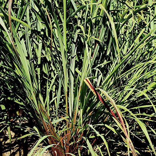 East Indian Lemongrass Seeds (Cymbopogon flexuosus) 20+ Rare Seeds in FROZEN SEED CAPSULES for the Gardener & Rare Seeds Collector - Plant Seeds Now or Save Seeds for Years