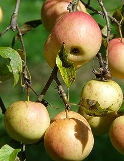 Notebook: Apple Orchard  fruit tree apple pear fruit pomegranate pineapple plum citrus
