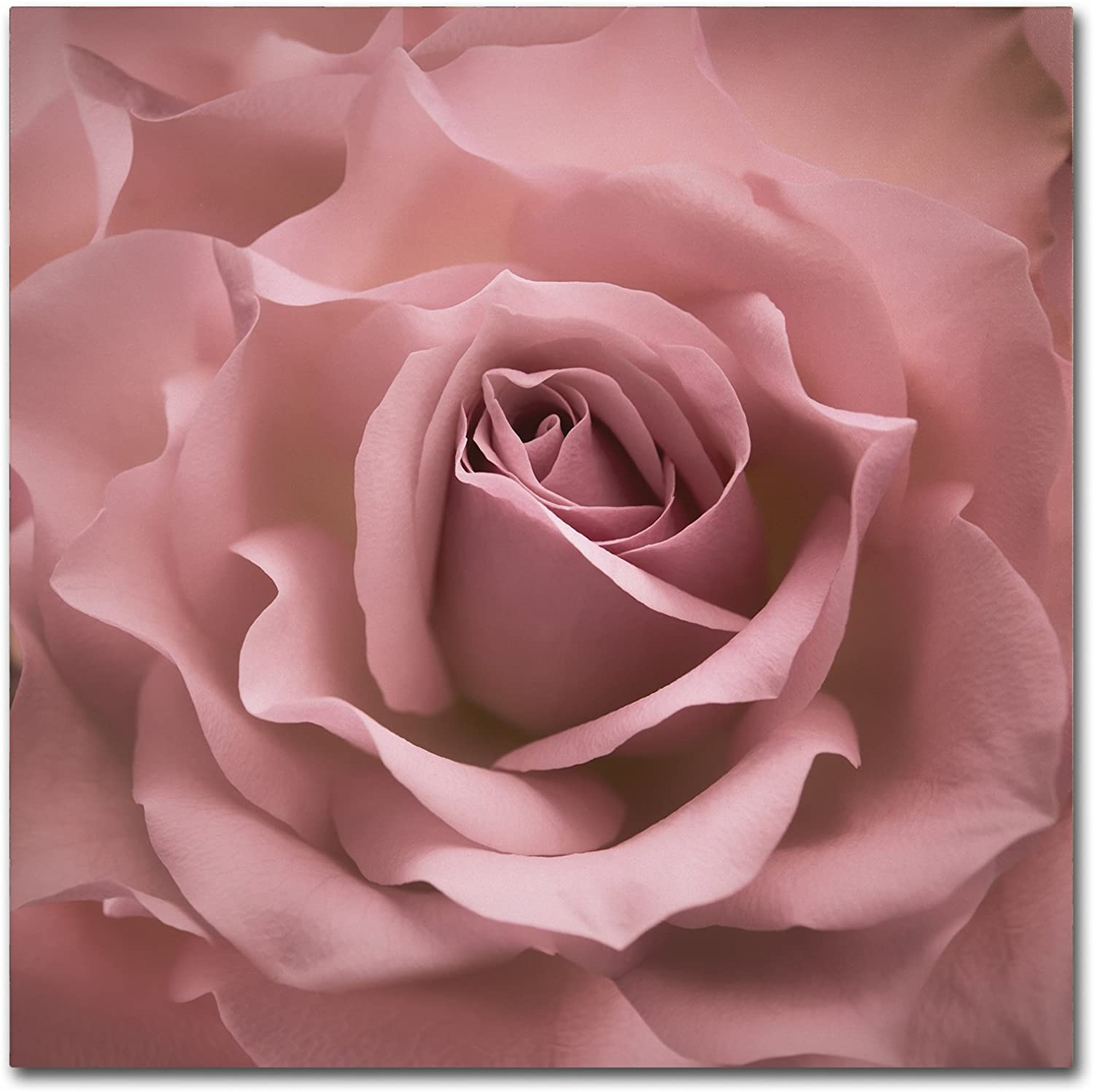 Misty Rose Pink Rose by Cora Niele, 24x24-Inch Canvas Wall Art