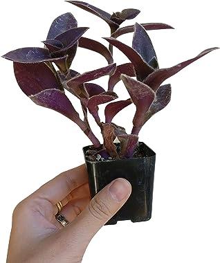 Purple Heart Tradescantia Pallida Succulent Plant   Unique Succulent Gift Box (2 inch)