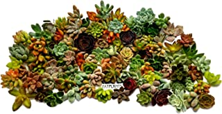Fat Plants San Diego Miniature Rosette Succulent Cuttings (100)