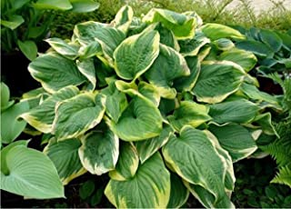 Lumos80 Fragrant Dream Hosta Heavy Established Perennial Rooted 1 Quart Pot 1 Plant