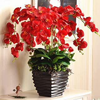 Phalaenopsis Orchids 20pcs Seeds Beautiful Garden Bonsai Balcony Flower Butterfly Orchid Bonsai Hydroponic Flower Plant for Four Seasons Perennial Flowering Plants Potted Charming (Red)